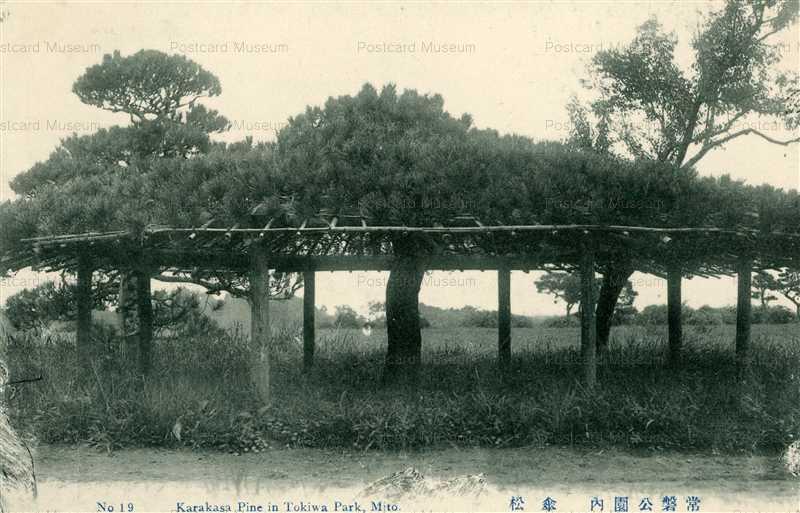 ll112-Karakusa Pine In Tokiwa Park Mito 19 常盤公園内 傘松 茨城