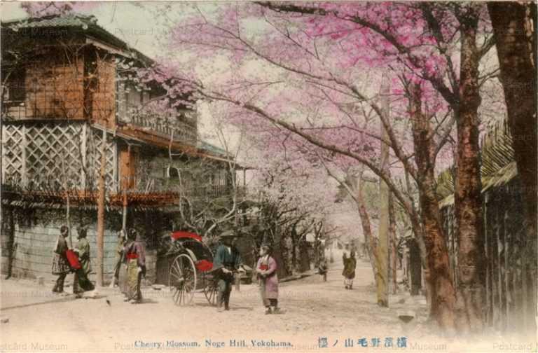 yb050-Cherry Blossom Noge Hill,Yokohama 横浜野毛山ノ桜