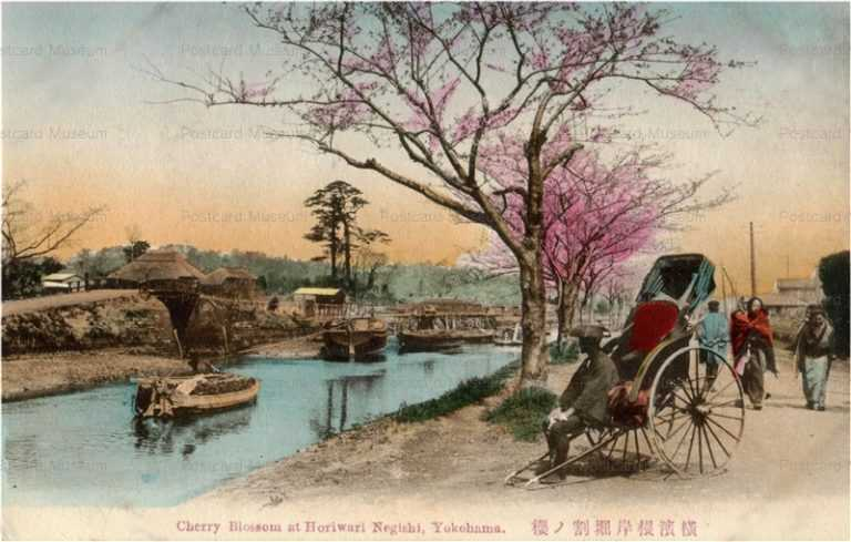 yb510-Cherry Blossom at Horiwari Negishi,Yokohama 横浜根岸掘割ノ桜