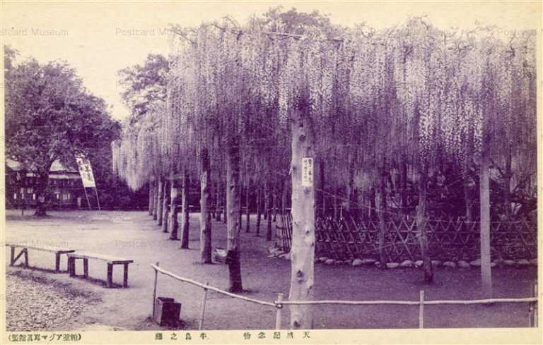 ls787-Natural treasure Wisteria Usijima Saitama 牛島之藤 天然記念物 埼玉