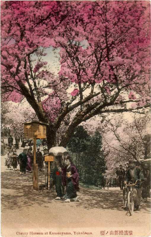 yb140-Cherry Blossom at Kamonyama Yokohama 横浜掃部山の桜