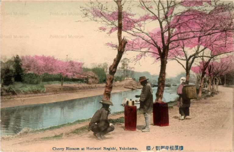 yb520-Cherry Blossom at Horiwari Negishi,Yokohama 横浜根岸掘割ノ桜