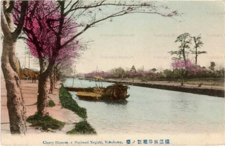 yb530-Cherry Blossom at Horiwari Negishi,Yokohama 横浜根岸掘割ノ桜