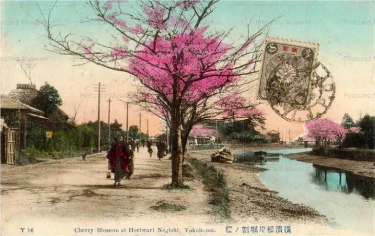 yb540-Cherry Blossom at Horiwari Negishi,Yokohama Y96 横浜根岸掘割ノ桜