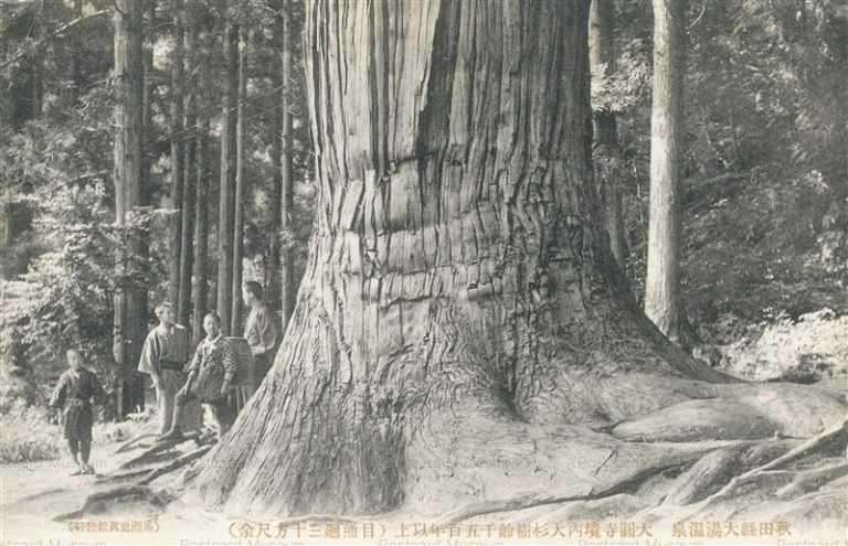 er1135-Daienji Temple Ooyu Hot Spring 大圓寺境内大杉樹齢千五百年以上 目通廻三十方尺余 大湯温泉