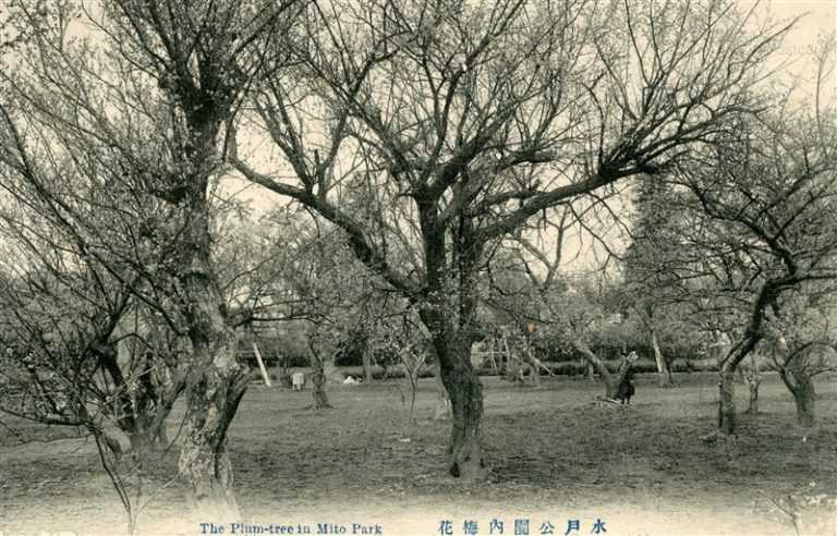 ll100-The Plum-tree In Mito Park 水戸公園内梅花 茨城
