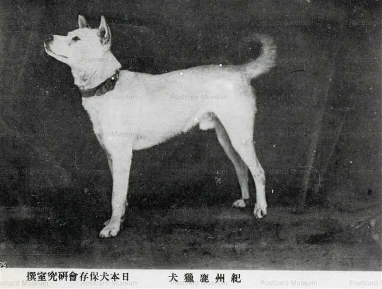 cga088-紀州鹿獵犬