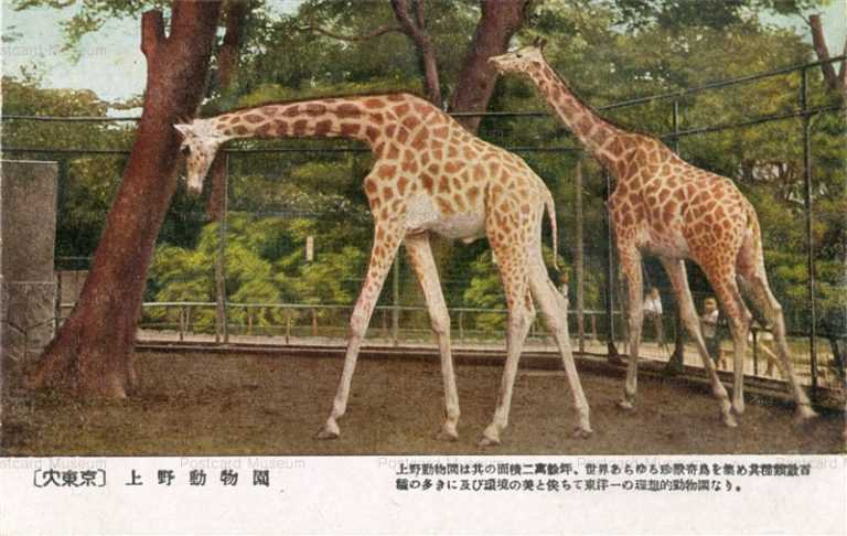 cg340-上野動物園 キリン大東京