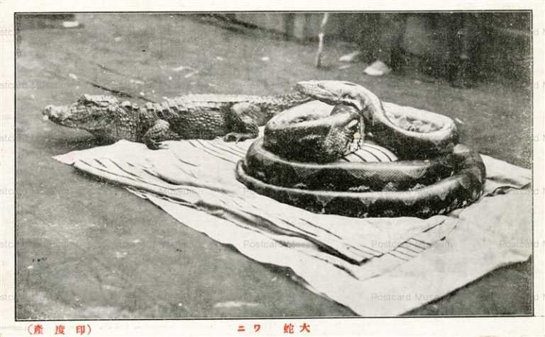 cg370-有竹巡回動物園 大蛇 ワニ 印度産