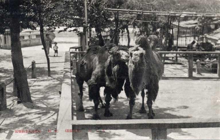 cg430-京都市記念動物園 Camel Kyoto City Zoo 駱駝 らくだ 牡牝