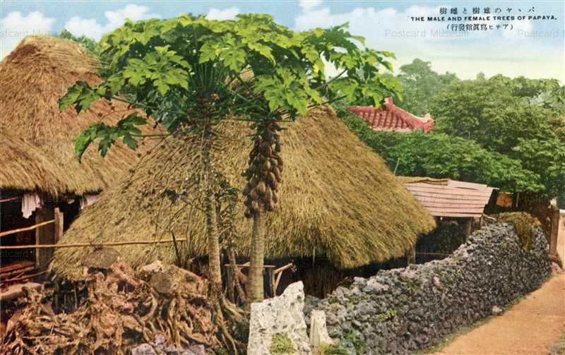 oky165-Papaya パパヤの雄樹と雌樹