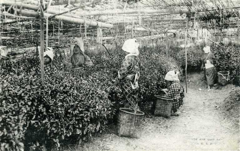 kfb042-Tea-Picking Women 京都 宇治茶を摘む女性たち