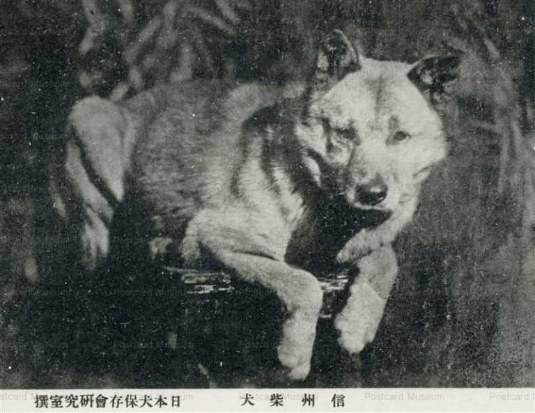 cga086-信州柴犬