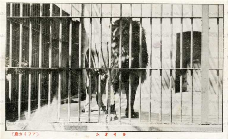 cg360-有竹巡回動物園 ライオン アフリカ産1