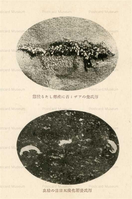 cg660-源氏蛍のアザミ苔に産卵したる状態 源氏蛍孵化後五日目の幼虫