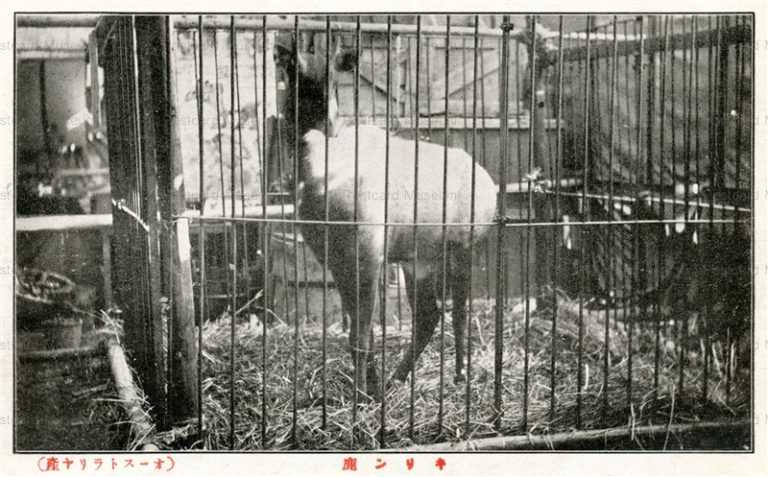 cg350-有竹巡回動物園 キリン鹿 オーストラリア産