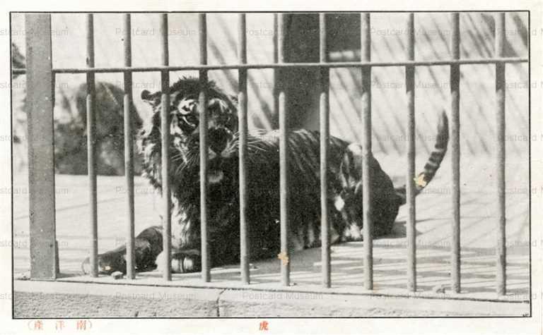 cg365-有竹巡回動物園 虎 南洋産