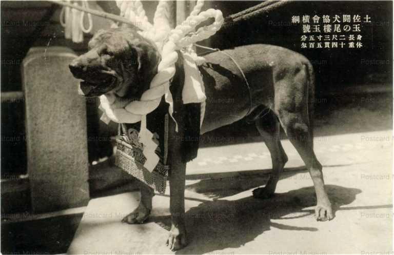 cga002-土佐闘犬協会横綱 玉の尾樓玉號