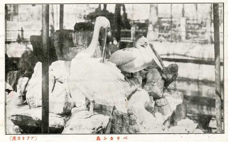 cg510-ぺリカン鳥 アフリカ産 有竹巡回動物園