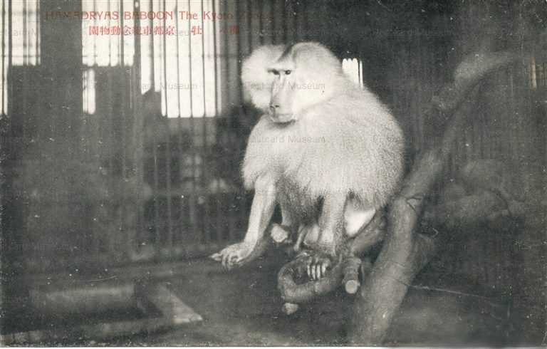 cg420-京都市紀念動物園 マントヒヒ牡