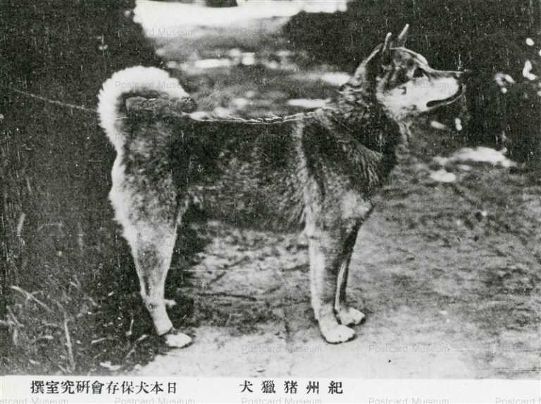 cga090-紀州猪獵犬