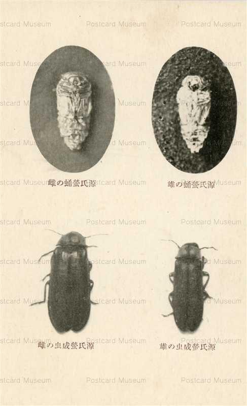 cg655-源氏蛍蛹の雄 雌 源氏蛍成虫の雄 雌