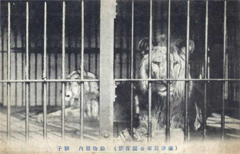 cg440-箕面公園 動物園 獅子