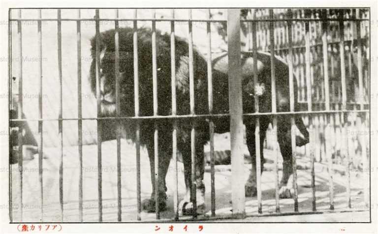 cg355-有竹巡回動物園 ライオン アフリカ産